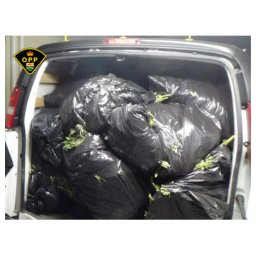 Continue reading: 1 arrested after 70 trash bags of cannabis plants found in rental van: Quinte West OPP
