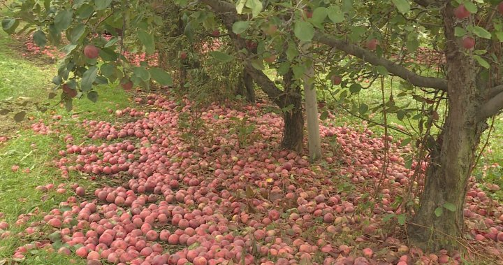 'I could cry': Millions of apples rotting in Okanagan orchards
