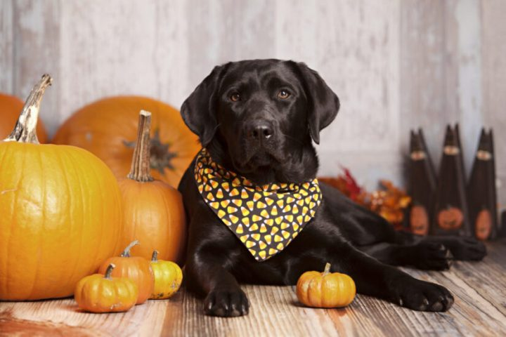 The BC SPCA wants to remind people to not feed their pets Thanksgiving food.
