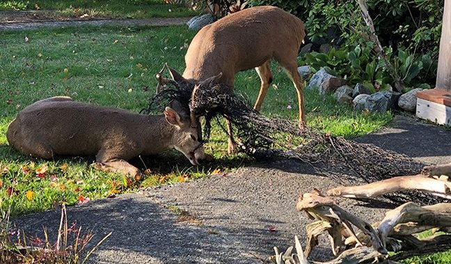 Blacktail bucks freed in Victoria getting tangled in fish net