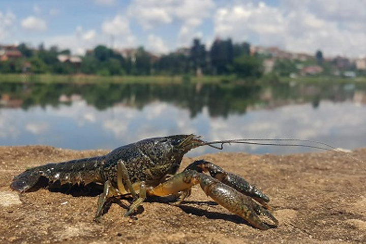 A marbled crayfish is shown in this file photo.
