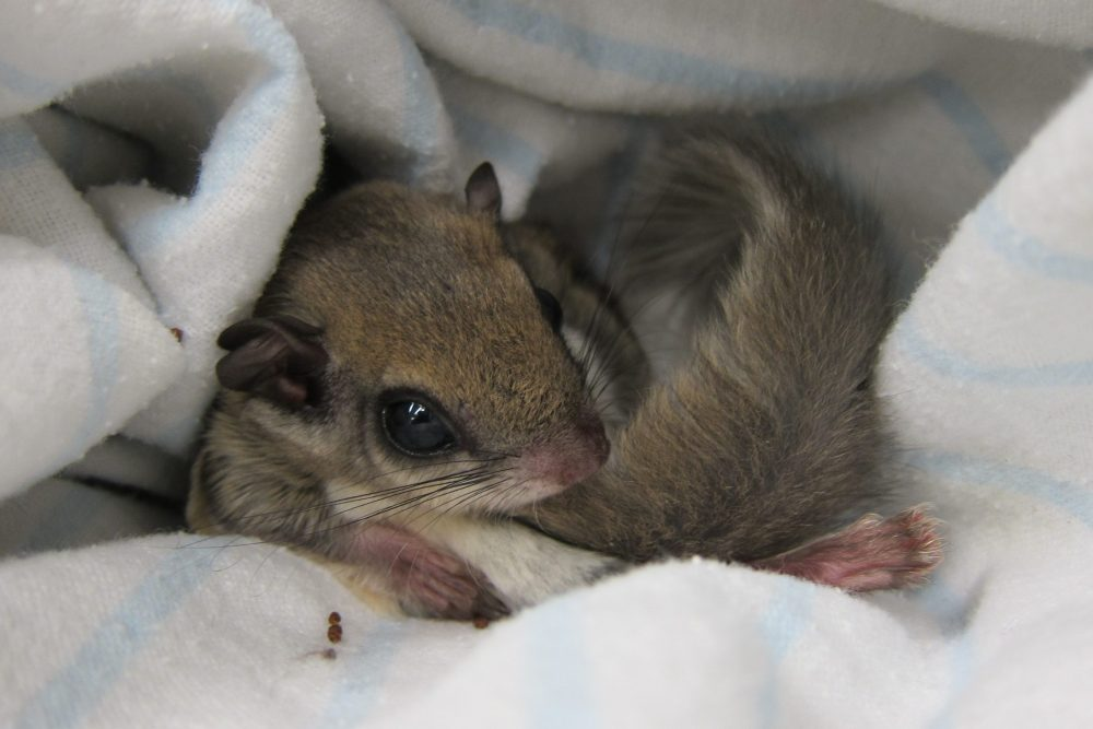 A baby flying squirrel is shown in this file photo from Sept. 25, 2013.