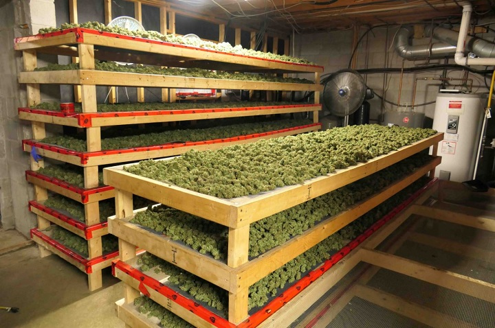 A photo of the illegal cannabis operation in York Region.