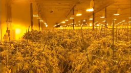 Continue reading: 'Hundreds' of pot plants seized in Norfolk County bust: OPP