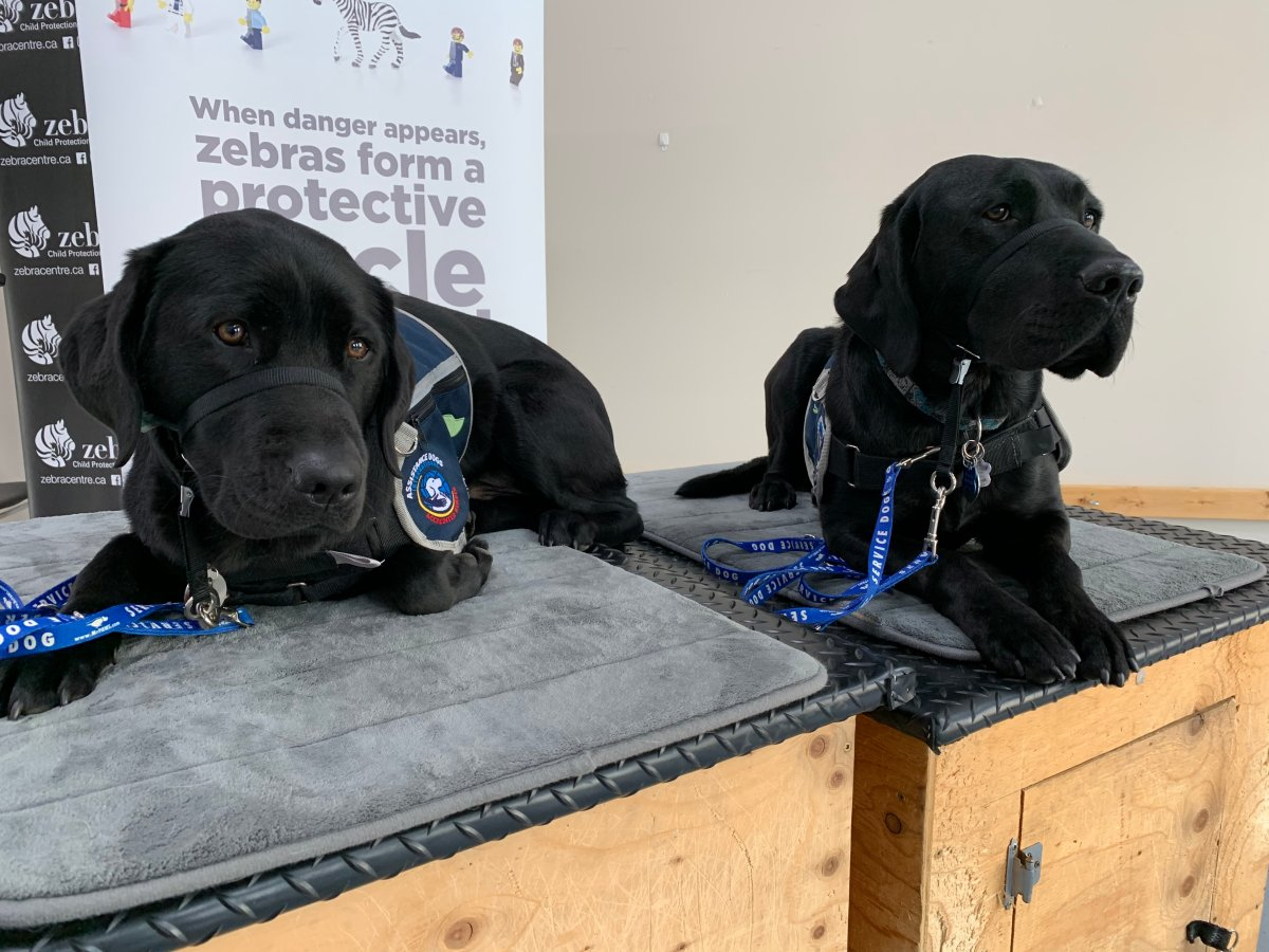 Edmonton's Zebra Child Protection Centre welcomes two new support dogs Thursday, Oct. 15, 2020.