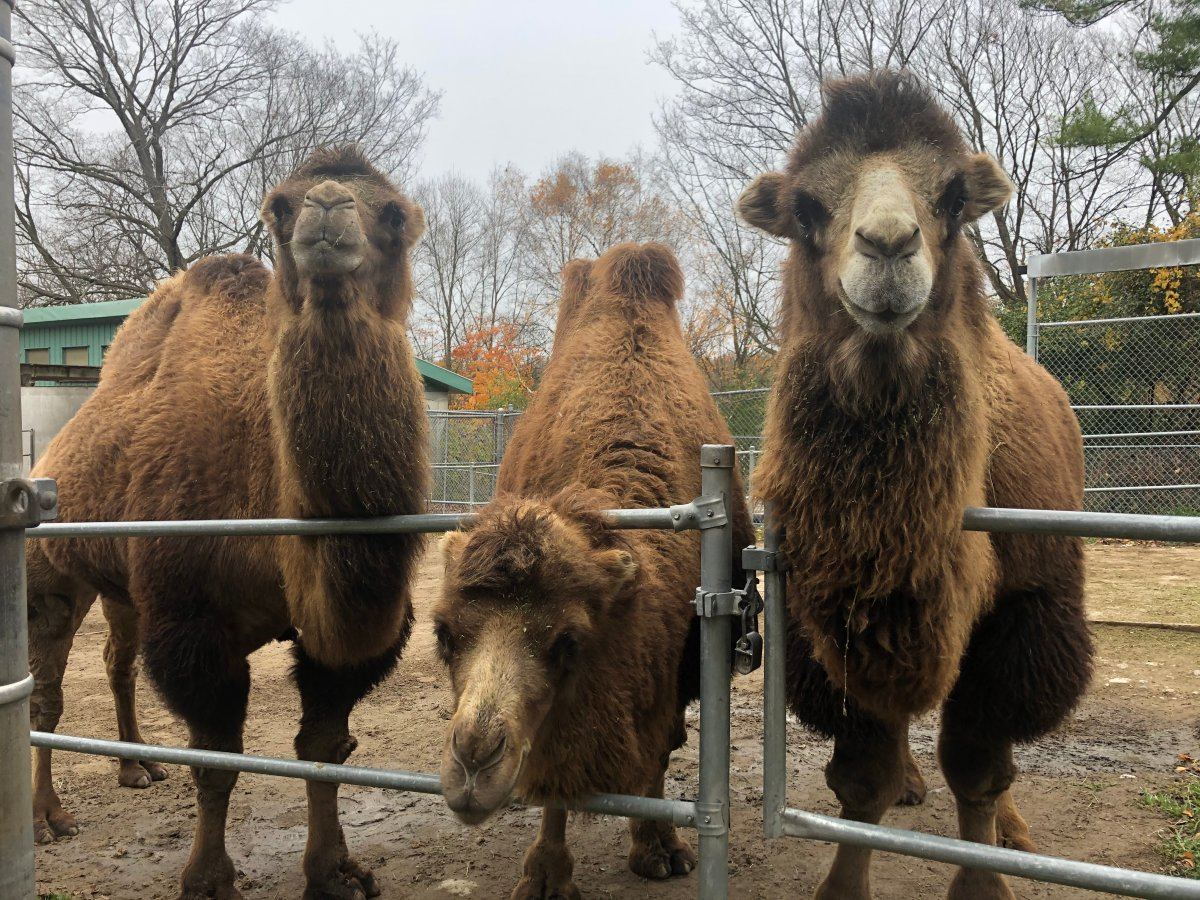 Camels at Riverview Park & Zoo