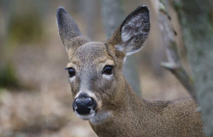 A file photo of a deer. A 58-year-old B.C. woman says she was attacked by a deer while out walking her dog last week.