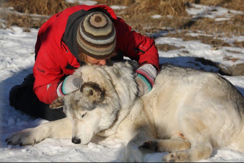 "Angie Birch, sanctuary volunteer, greets Wolfdog ""Rocky"" as she goes through her daily chores at the Yamnuska Wolfdog Sanctuary, Cochrane Alberta on Monday, Nov. 23, 2020."