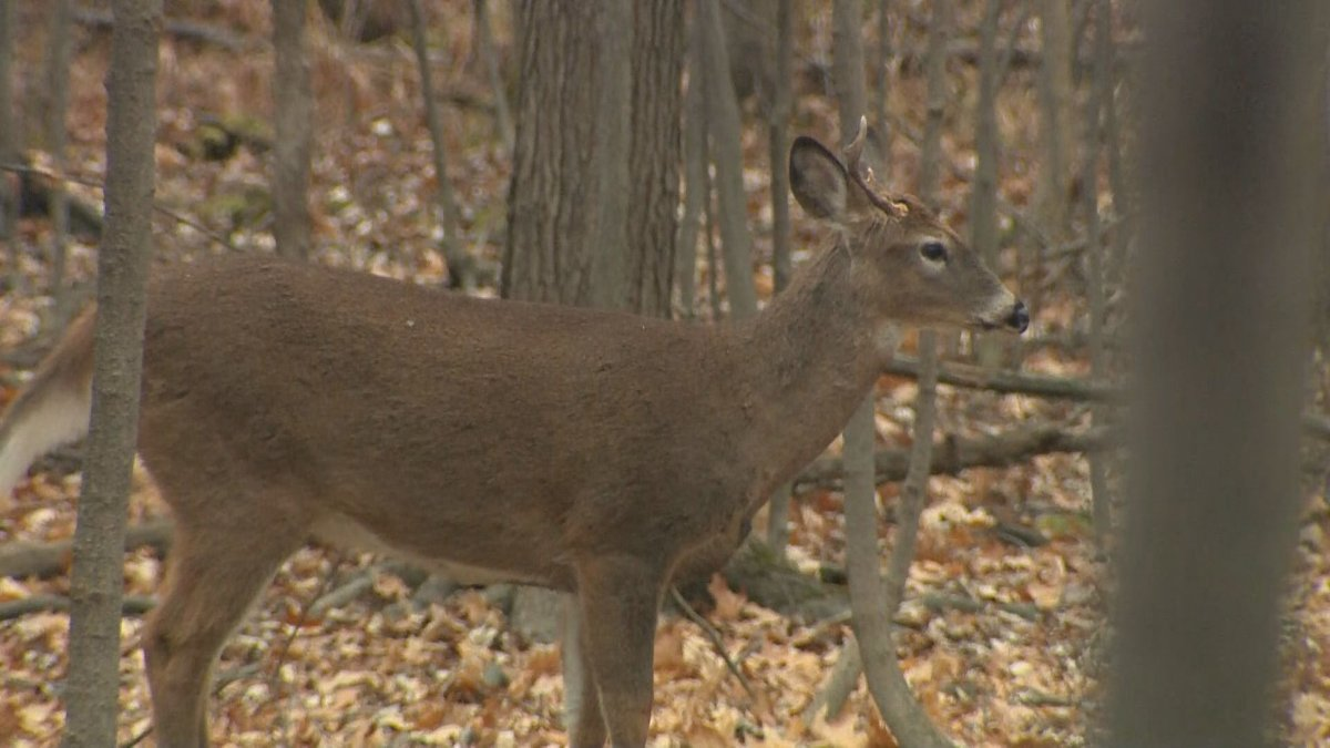 The Ministry of Environment said a Saskatchewan man admitted to shooting white-tail deer at night because they were damaging trees and shrubs on a neighbouring property.
