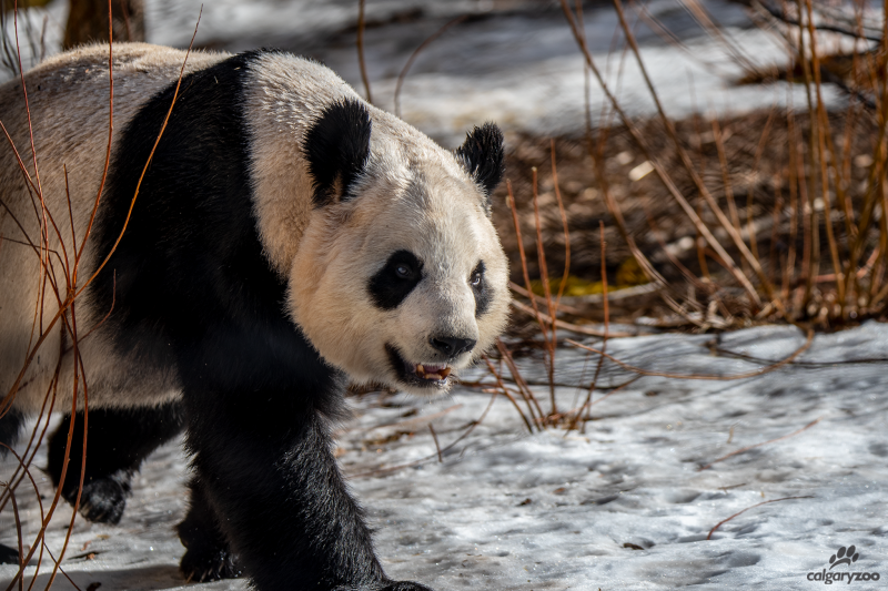 Er Shun is shown in a photo from The Calgary Zoo.