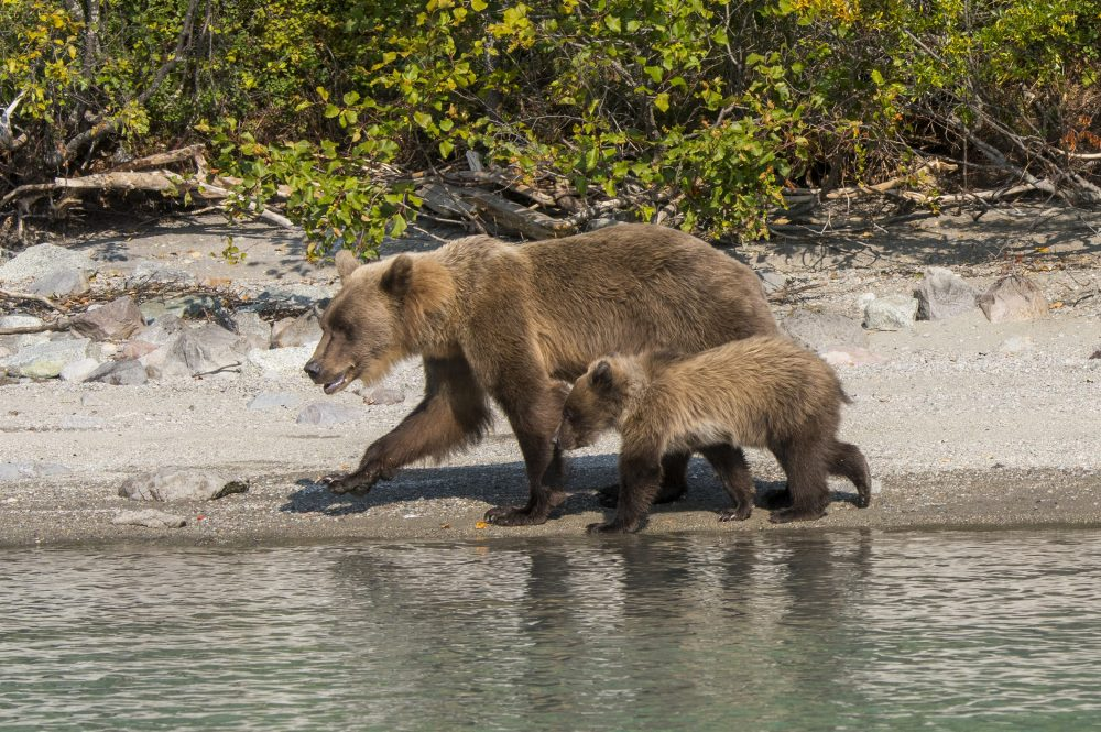 In this file photo, a brown bear sow and cub are shown on the shore of Lake Crescent in Lake Clark National Park and Preserve in Alaska on Aug. 21, 2020.