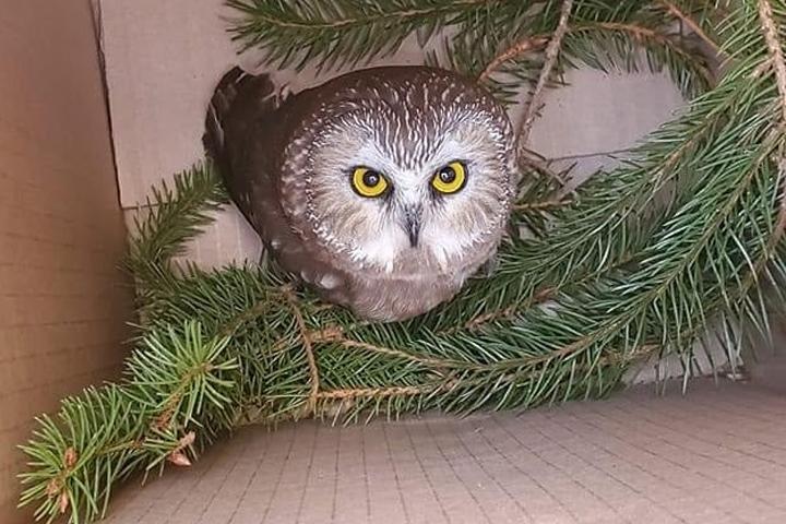 zesaeuu1lyscrm https globalnews ca news 7471908 owl rockefeller center christmas tree nyc