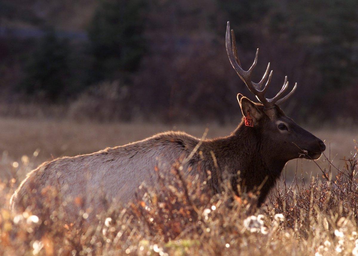 STOCK--A male Elk wanders through the grass along the Vermillion Lakes near Banff, Alberta Wednesday November 1, 2000. (CP PHOTO/Adrian Wyld).