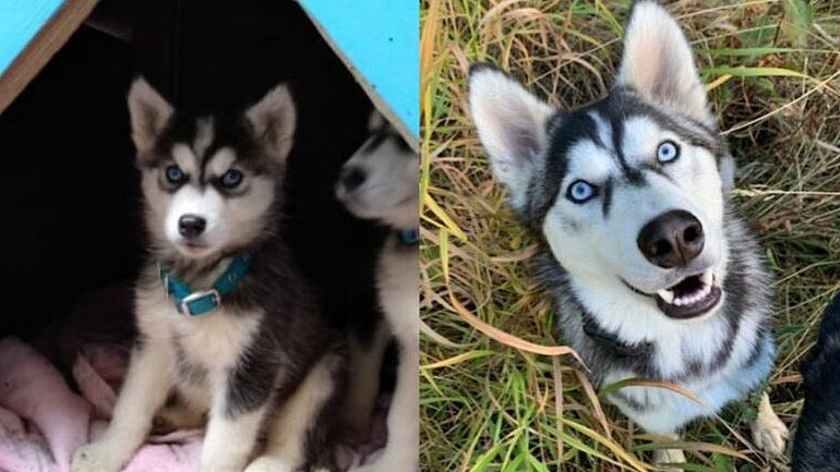 Seventeen husky puppies that were surrendered on Christmas Eve last year were adopted and have grown up into young, playful dogs. Above is a before and now picture of Koda, one of the puppies. This week, the BC SPCA gave an update as to how they're doing.