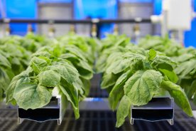 Play video: Canadian vaccine maker pioneers new technology using plants