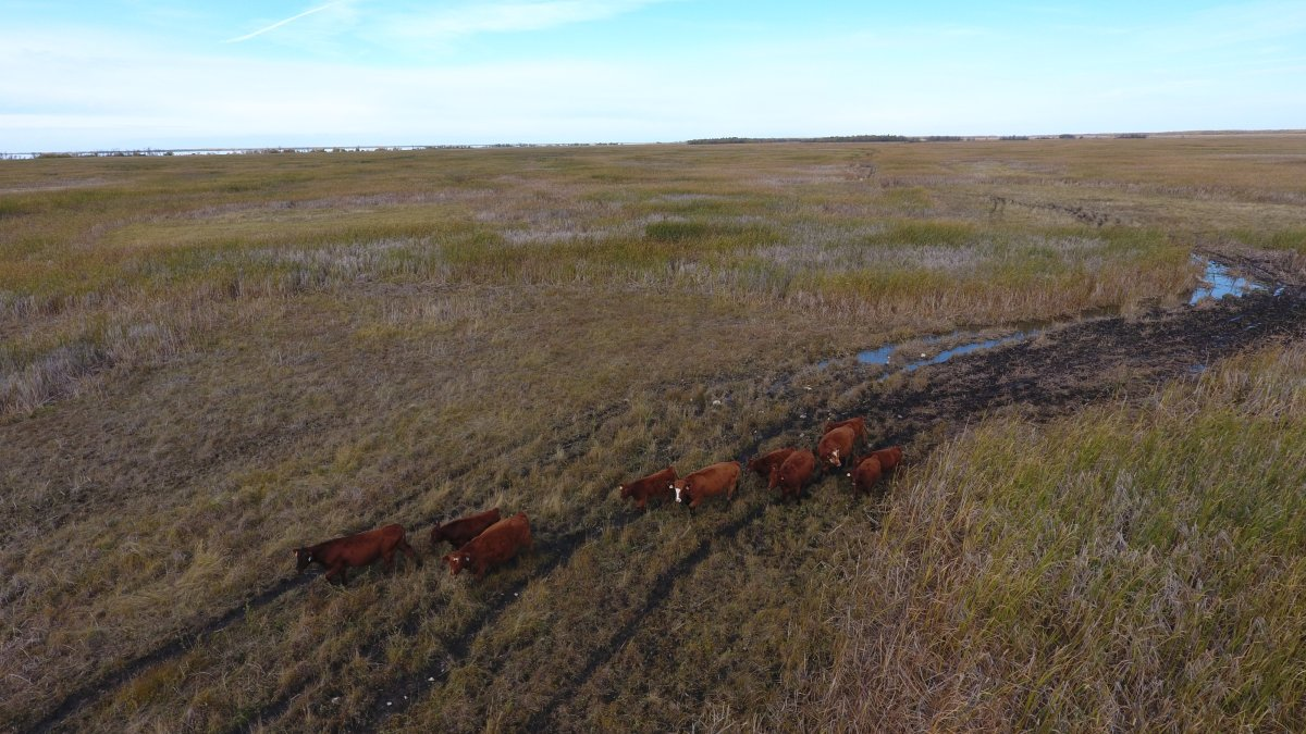 Cattle farmers sometimes use drones to check their herds due to the rough, inaccessible terrain that lies in between Lake Winnipegosis on the west, and Lake Manitoba on the east.