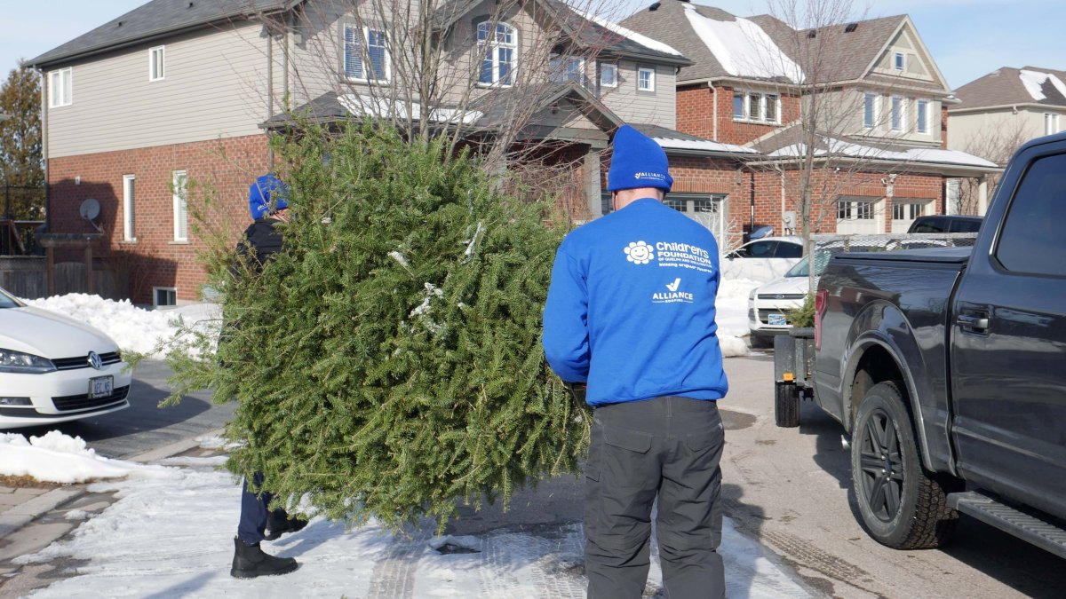 Around 4,100 old Christmas trees were collected by volunteers on Saturday.