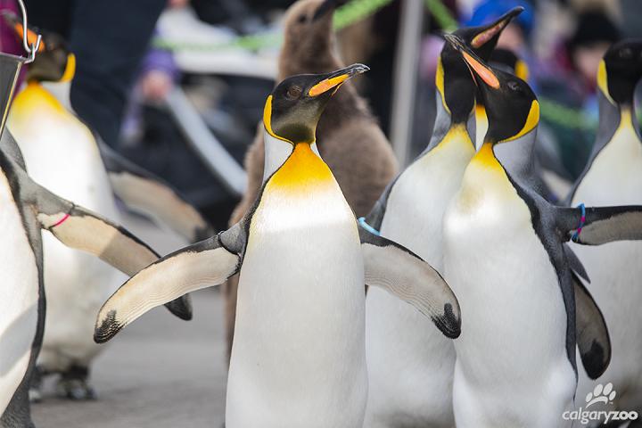 The penguin walk at the Calgary zoo.
