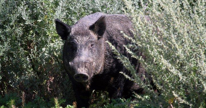 Wild Pig jpg?quality=85&strip=all&w=720&h=379&crop=1.