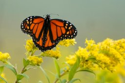 Continue reading: Monarch butterfly population getting closer to extinction