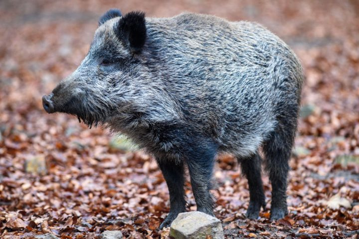 A wild boar is shown in this Nov. 17, 2020 file photo.