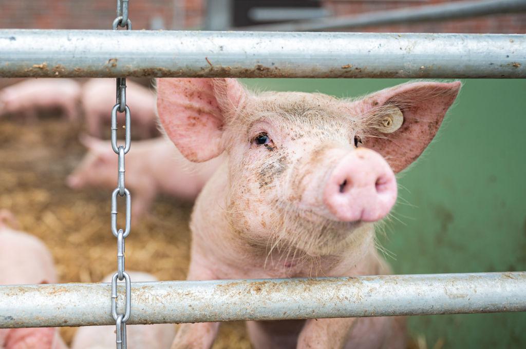 On an organic farm, a pig in a barn peeps through between two sticks.