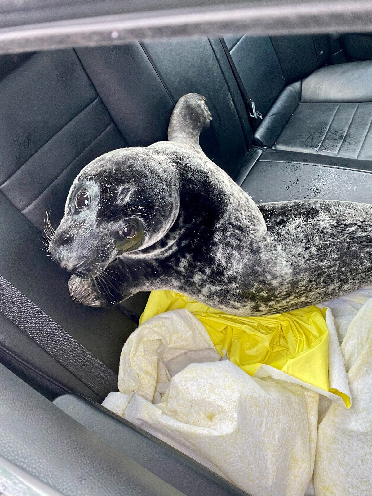 A seal is shown in the back of a police cruiser after being rescued in Charlottetown, P.E.I., in this recent handout photo. The seal was wandering the streets of Charlottetown, P.E.I. Sunday morning, prompting a concerned neighbour to call police. Though eyewitnesses say the seal did its best to resist arrest, police got it into the back of a cruiser and, in consultation with Fisheries and Oceans Canada, released it back into the water where it belongs.