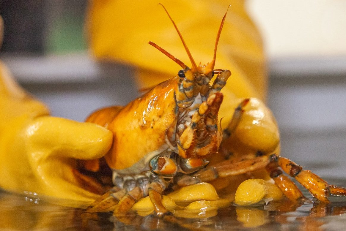 A rare yellow lobster is shown in this handout photo.