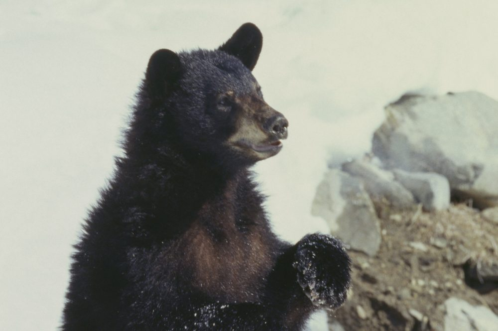 An American black bear (Ursus americanus) is shown in this file photo.