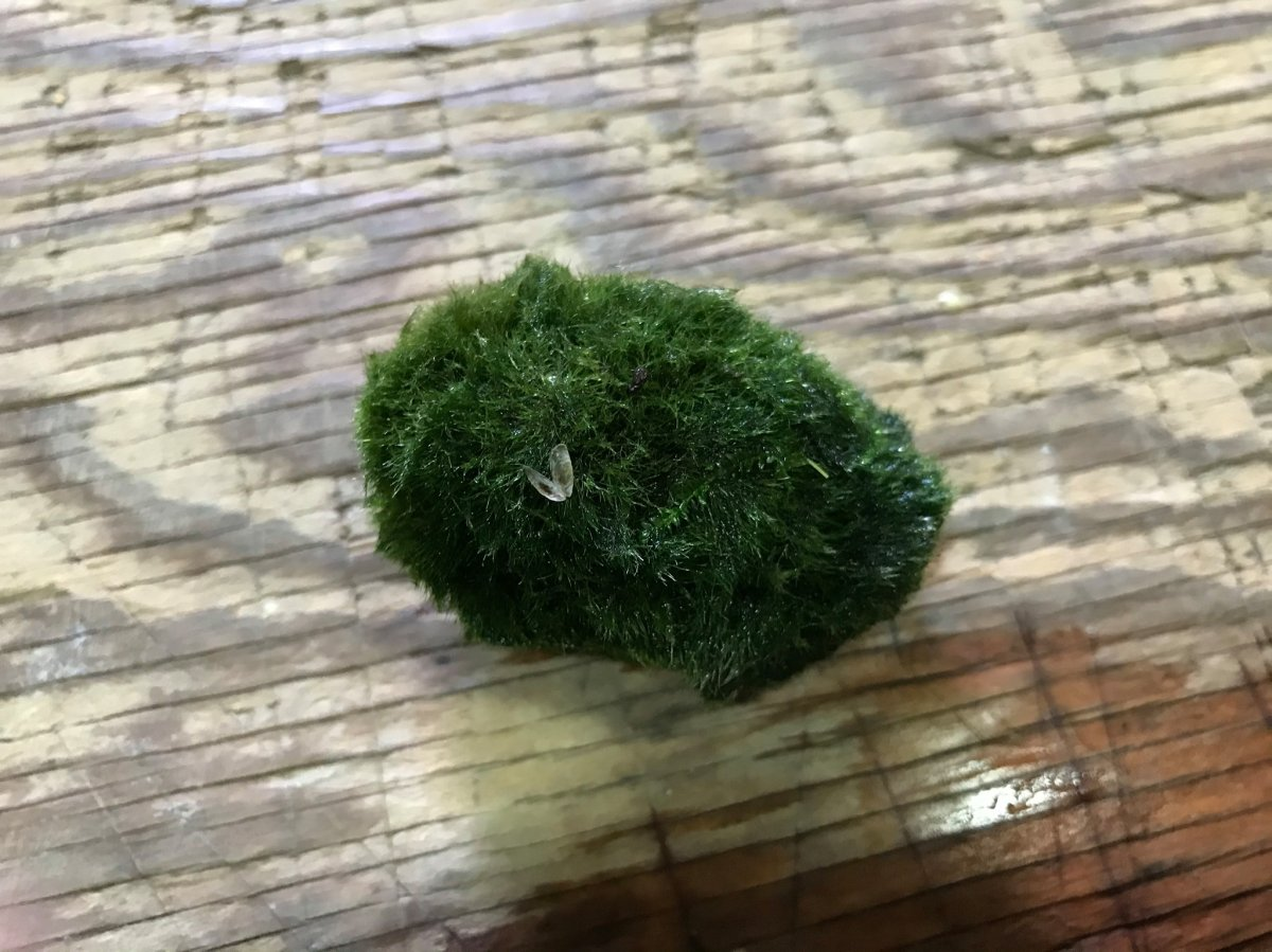 Alberta Environment and Parks is working to identify a species of invasive mussel that has entered Western Canada through moss balls.