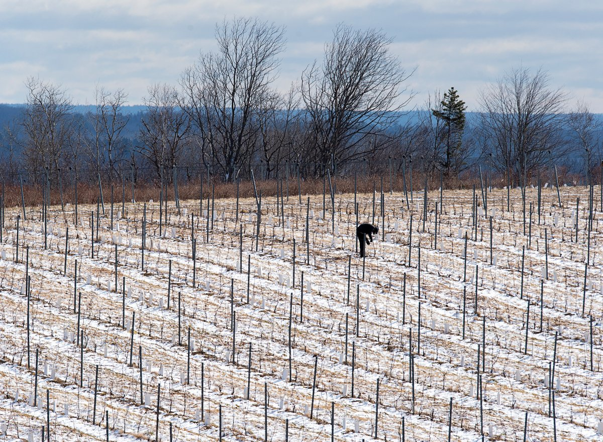 A man works on berry bushes in Lockhartville, located in Nova Scotia's Annapolis Valley, on Saturday, April 10, 2020.