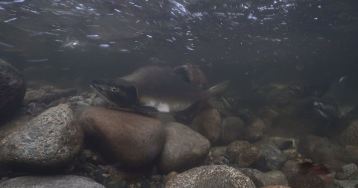 New documentary highlights the importance of Vancouver's urban salmon