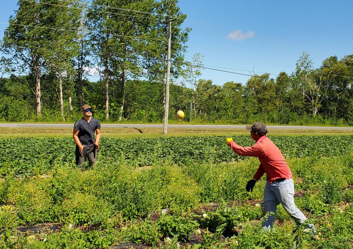 Two seasonal agriculture workers on a farm in Pembroke, New Brunswick.