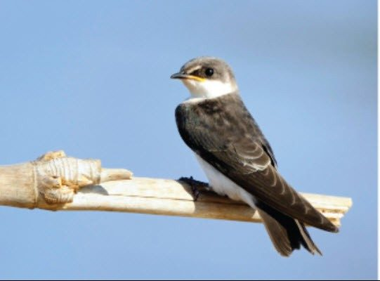 A bank swallow is seen in this undated photo from Environment and Natural Resources on the federal website.