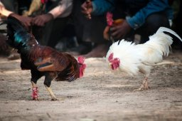 Continue reading: Rooster kills its owner with slash to the groin at cockfight