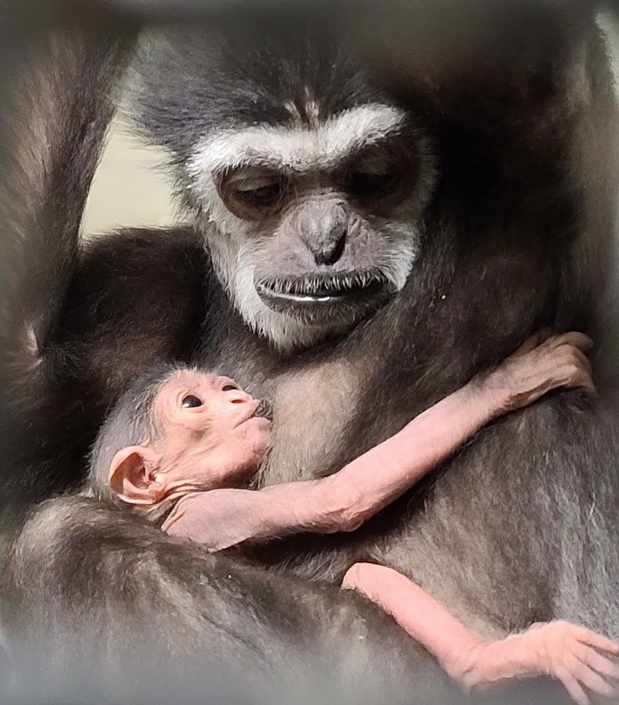 Maya the white-handed gibbon with her new arrival.