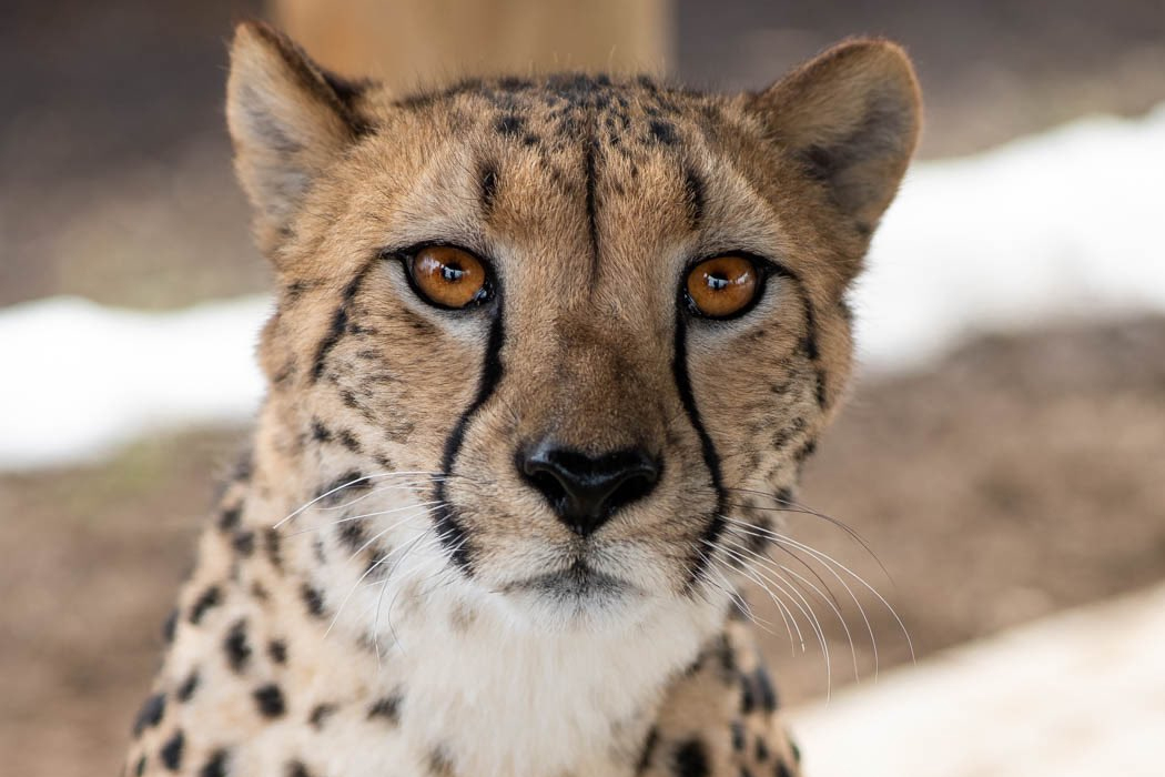 Isabelle, a 4-year-old cheetah, is shown in this handout photo.