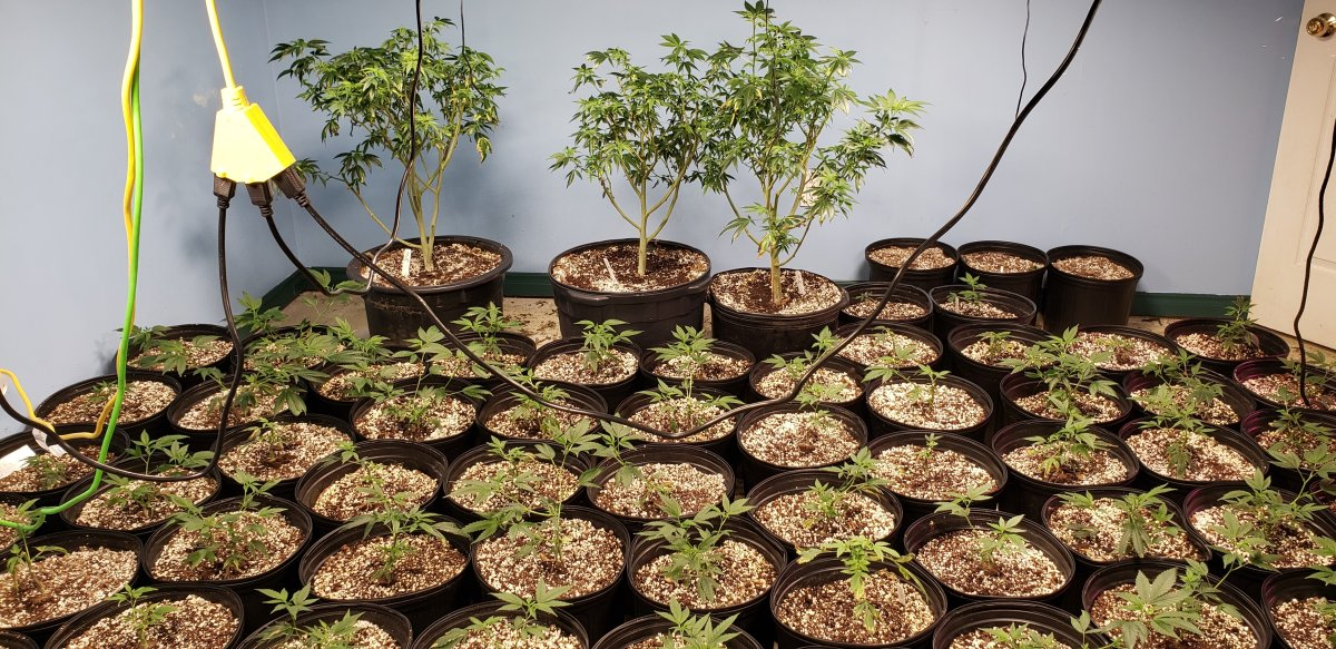 More than 2,400 cannabis plants were seized from a property in the City of Kawartha Lakes on Tuesday.
