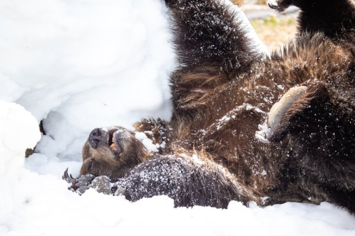 Grouse Mountain's resident grizzlies have emerged from hibernation.