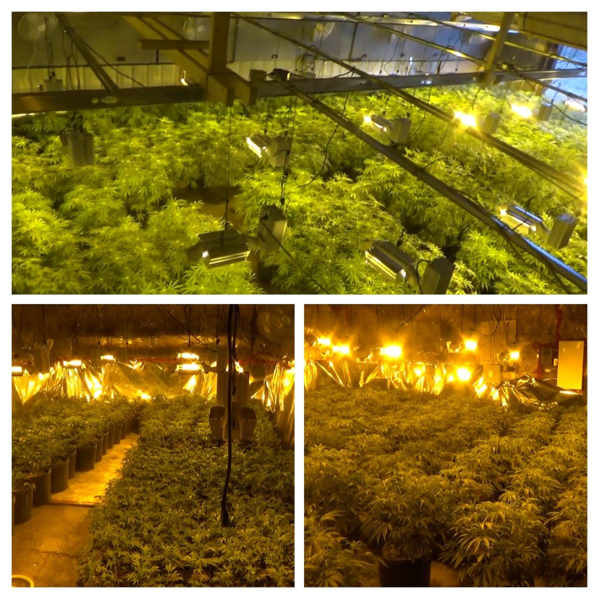 Quinte West OPP seized and charged two Markham residents who were found with over 70 pounds of dried cannabis and 1,100 plants on Harrington Road in Quinte West.