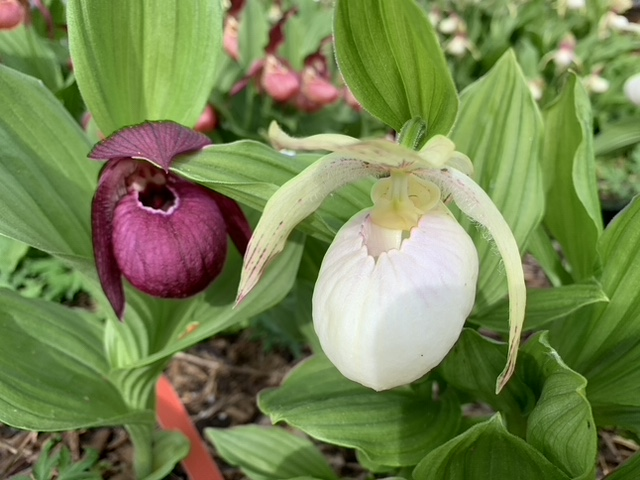 Cypripediums have had a long-standing reputation for being fussy if not impossible to cultivate.The first Cypripedium was described in the mid-1500s, so we are talking a long time.It has only been in the last thirty years that the secrets of germination and techniques for cultivation have evolved to the point that these plants could be offered commercially.With close to 200 hybrids and increasing, now is the best time to get growing.