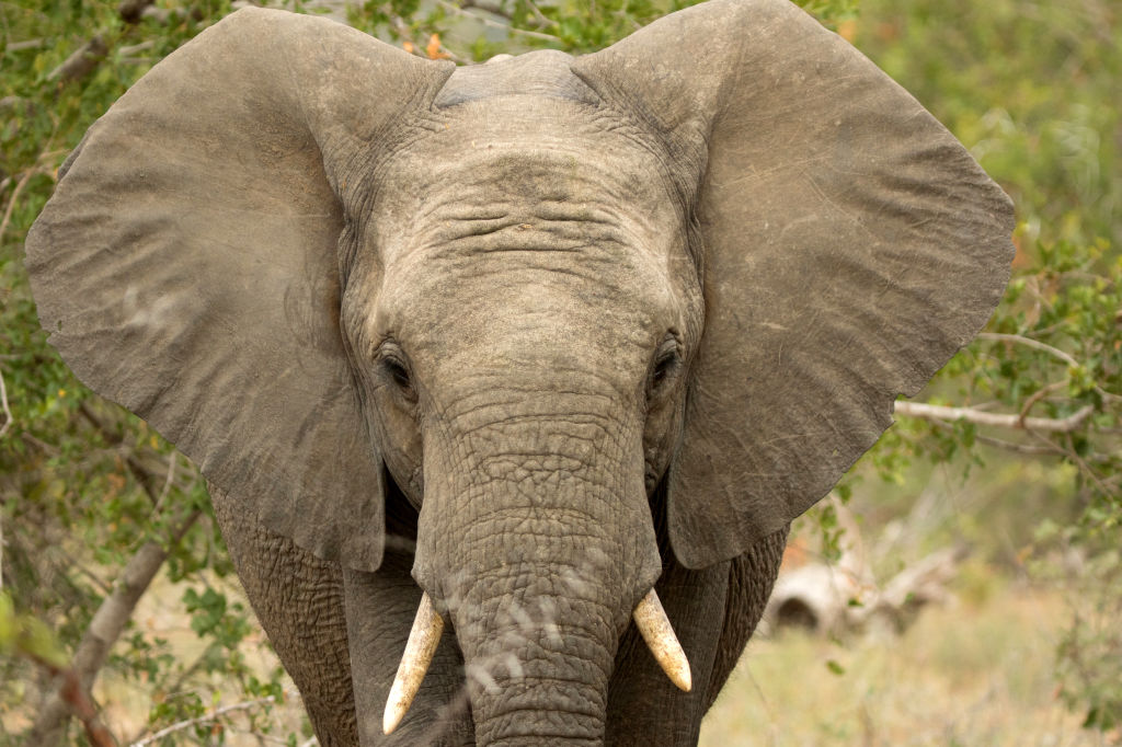An African elephant is shown in Kruger National Park in South Africa.