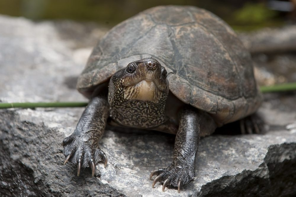 A Florida tortoise/red-eared turtle is shown in this Aug. 13, 2010 file photo.