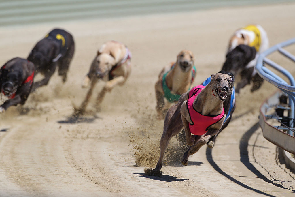 In this file photo, greyhounds are shown in a race at Forbury Park Raceway, St. Kilda, Dunedin, Otago, New Zealand on Jan. 24, 2012.