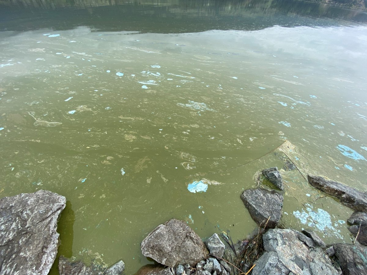 A photo of an algae bloom on Wood Lake in the Central Okanagan.