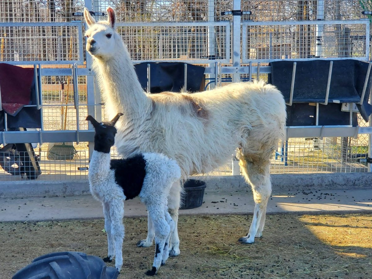Chai the llama with her new cria.