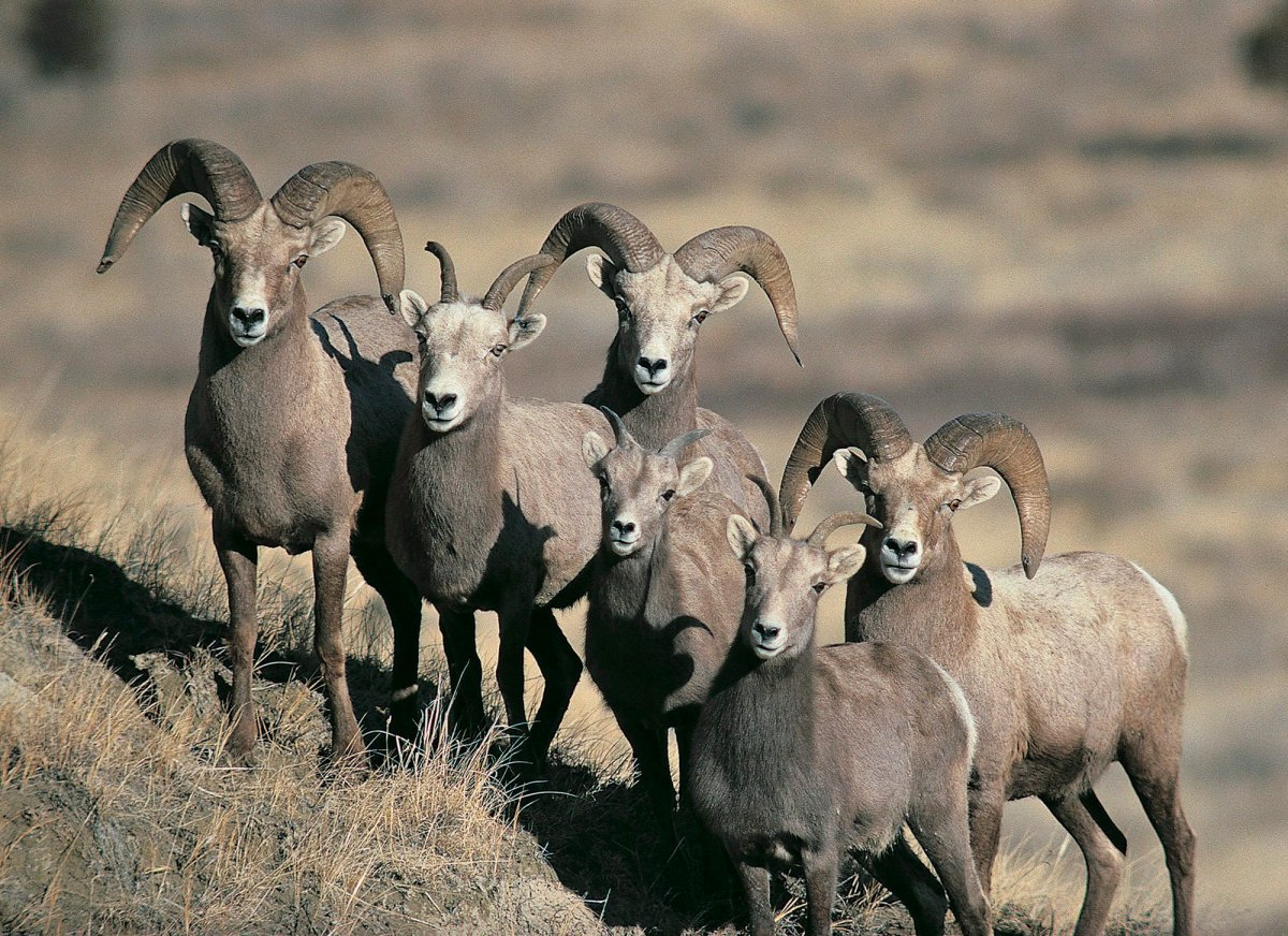 This undated photo provided by the North Dakota Game and Fish Department shows a group of bighorn sheep in North Dakota. Alberta's environment department has known for years that toxins from old coal mines are contaminating populations of the province's official animal, the Bighorn sheep.