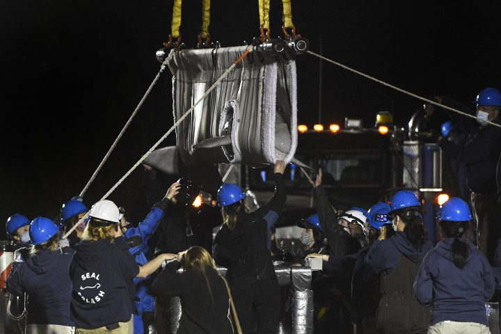 A Beluga whale is transported at Mystic Aquarium after arriving from Canada, Friday, May, 14, 2021 in Mystic, Conn.