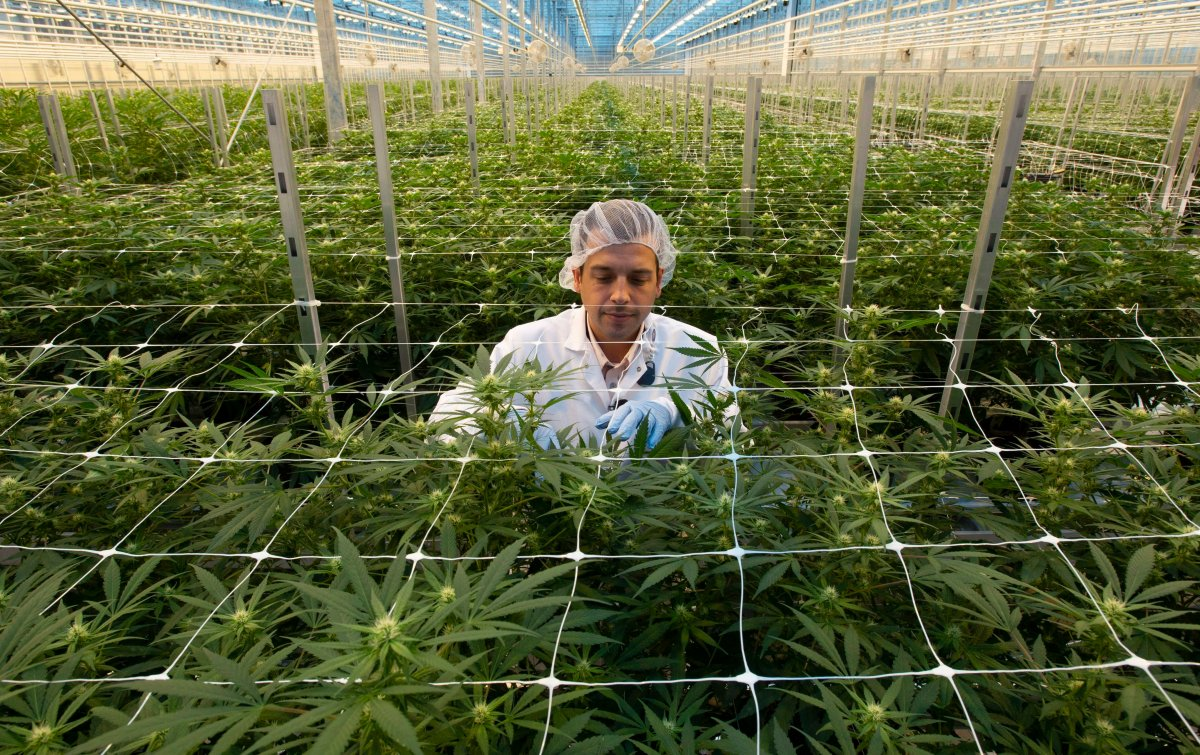 A Hexo Corp. employee examines cannabis plants in one of the company's greenhouses, seen during a tour of the facility, Thursday, October 11, 2018 in Masson Angers, Que.  The company is looking to tackle the emerging U.S. market with a private-label strategy, its CEO said Thursday.