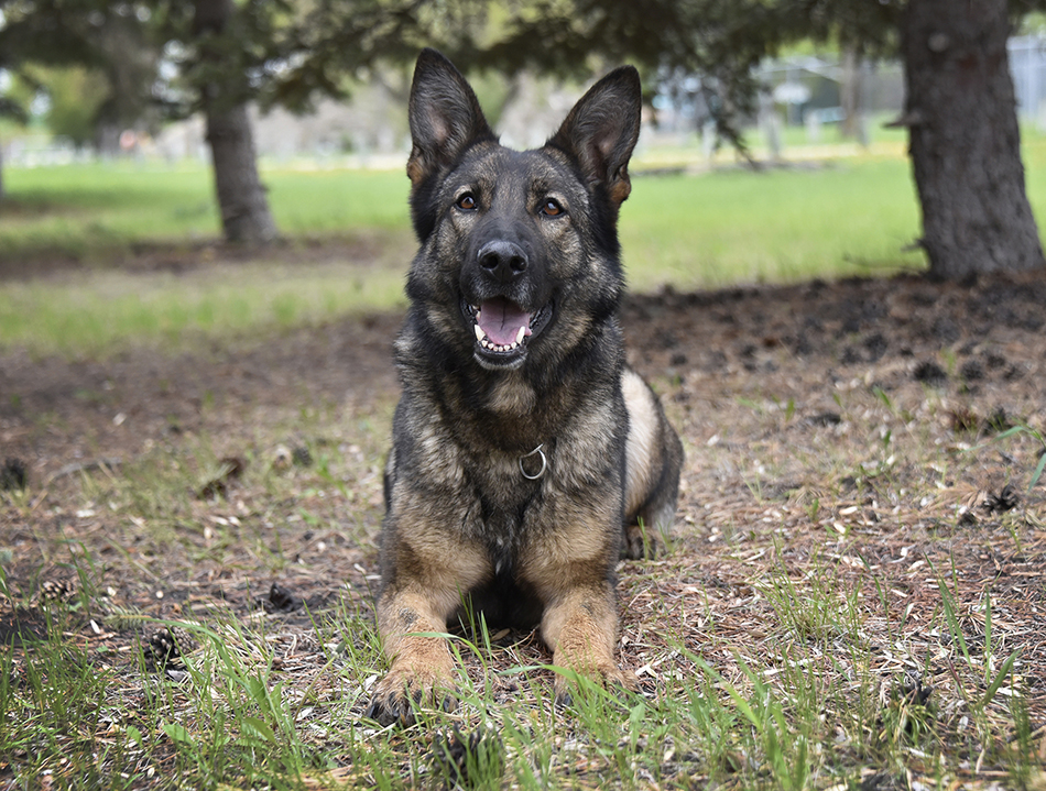 Portage la Prairie RCMP say police dog, Jolt, helped track down a car-jacking suspect Sunday.
